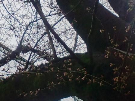 3.25今日の桜2