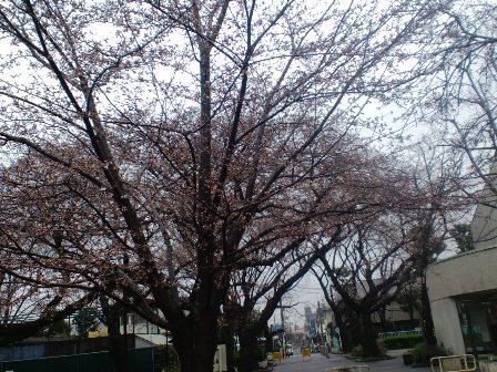 3.25今日の桜1
