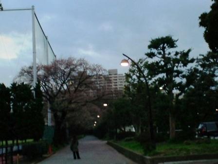 3.26桜並木