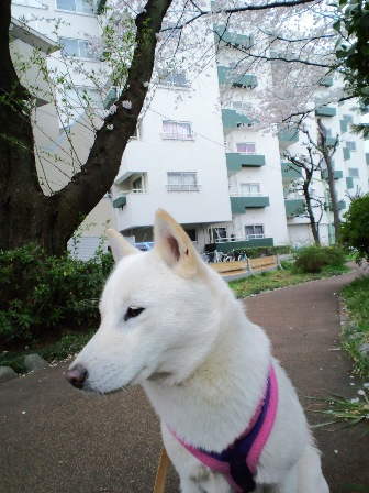 4.1緑道の桜
