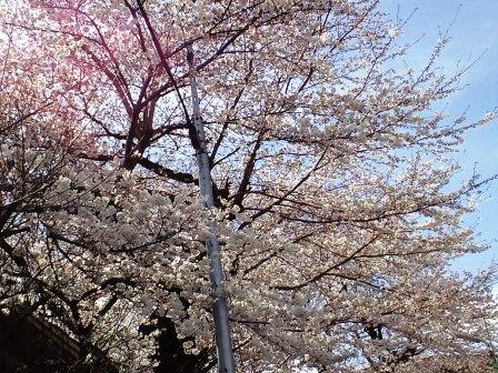 4.1病院の桜