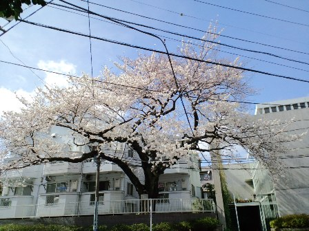 4.1近所の桜