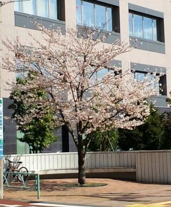 4.1警察署脇の桜