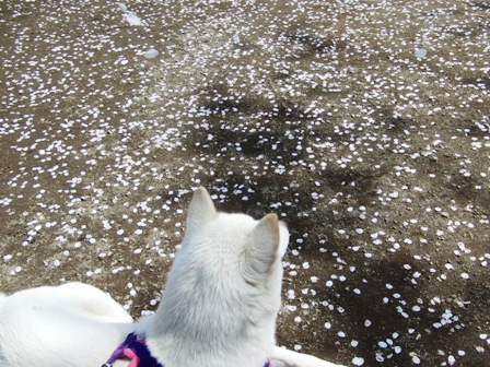 4.6桜吹雪?2