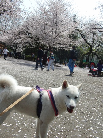 4.6桜吹雪?1