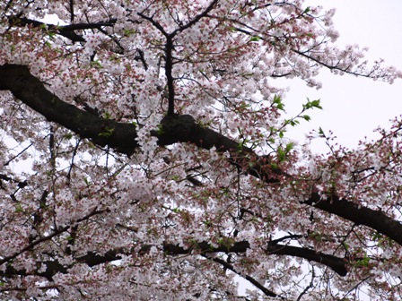 4.7葉桜