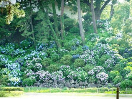 7.8紫陽花