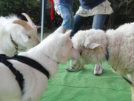 11.7ヤギ&ヒツジ&花2