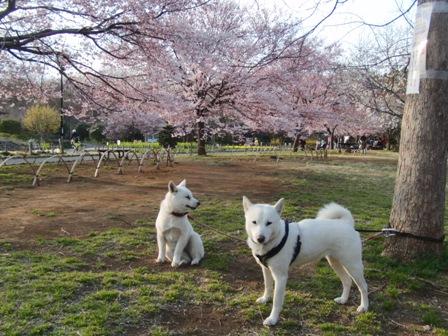 3.31タカトウコヒガン桜