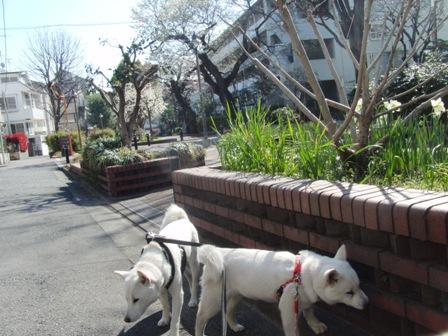 4.1緑道の山桜