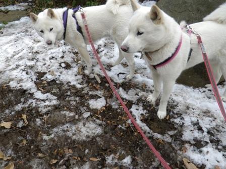 2012.1.27雪&霜柱