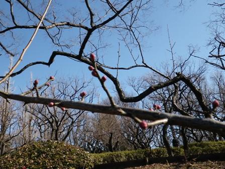 2012.2.3今日の梅