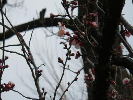 2012.2.5梅まつり2