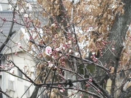 2012.2.6梅の花