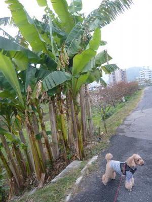 バナナの樹とちゃお