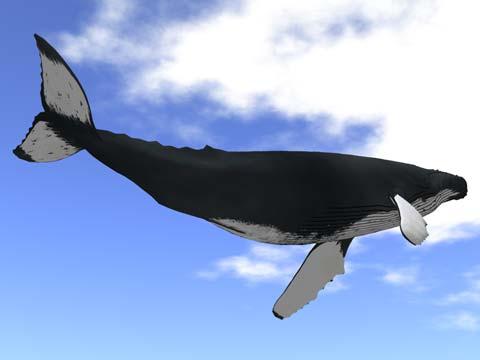 ザトウクジラv2_1