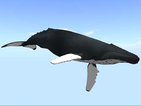 ザトウクジラv2_4
