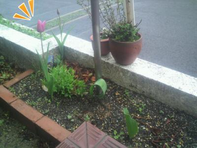 咲きましたよ