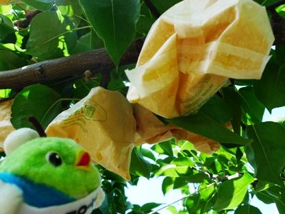 今が旬の鳥取の梨だよ♪