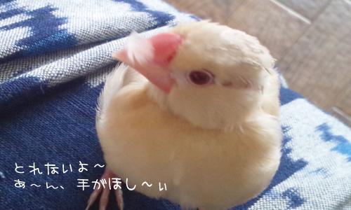シェル雛換羽_4