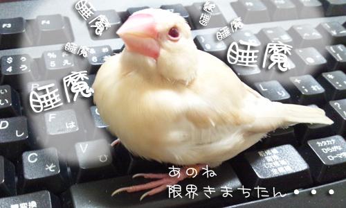 夕食後の文鳥ズ_2