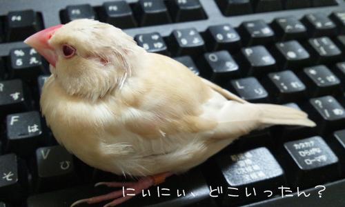 夕食後の文鳥ズ_1