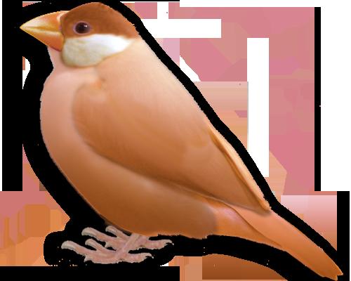 オレンジ文鳥