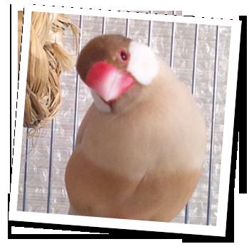 シナモン文鳥 ちゃちゃ
