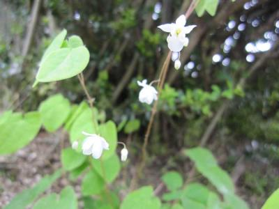 梅香いかり草1