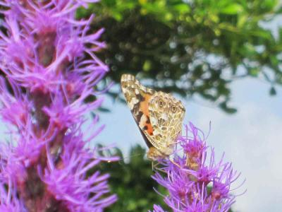 リアトリスと蝶