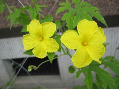 ゴウヤの花
