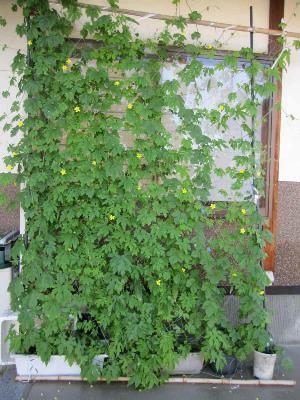 成長緑のカーテン