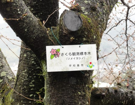 さくら開花宣言3