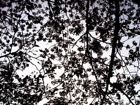デジタルハリネズミ_桜