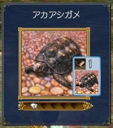 アカアシガメ