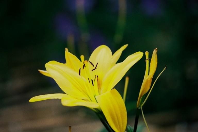 香勝寺の黄色い花