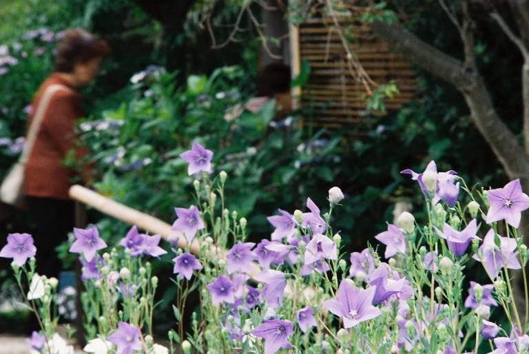 香勝寺の桔梗