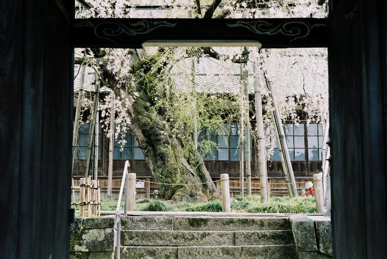 豊田市稲武町 瑞龍寺のしだれ桜-2