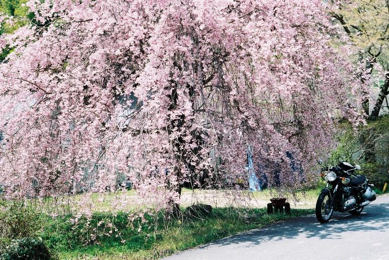 桜のシャワーで洗車する