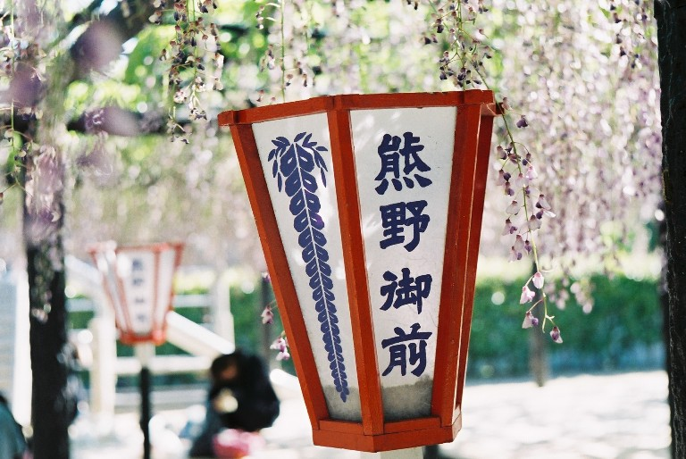 熊野長藤-4
