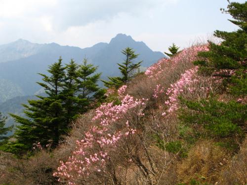 岩黒山のアケボノツツジ