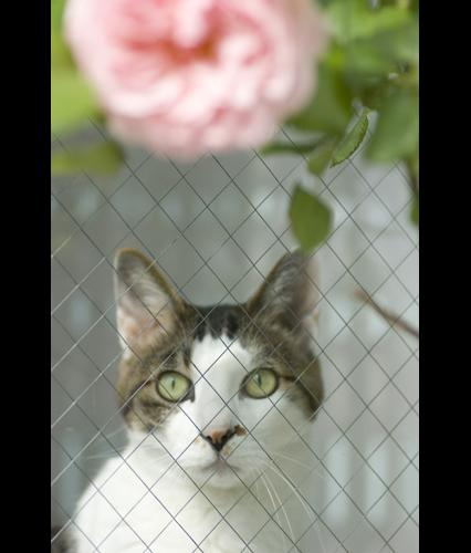 視線 薔薇と猫