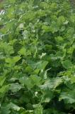 つぼみ菜という野菜です