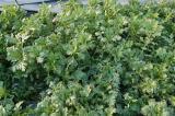 春菊です(やはり葉色が淡い)