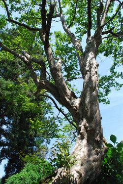 珍しい大木31