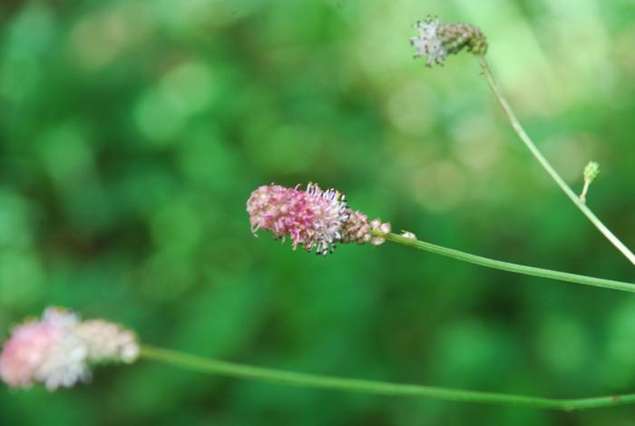吾亦紅の花3