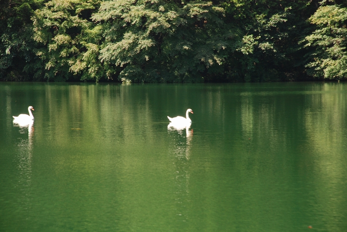伊奈ヶ湖と白鳥6