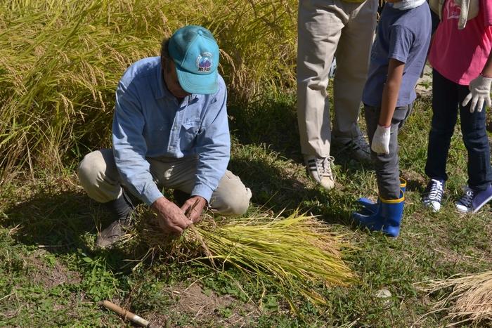 刈り取った稲の結わえ方を教えていただきました