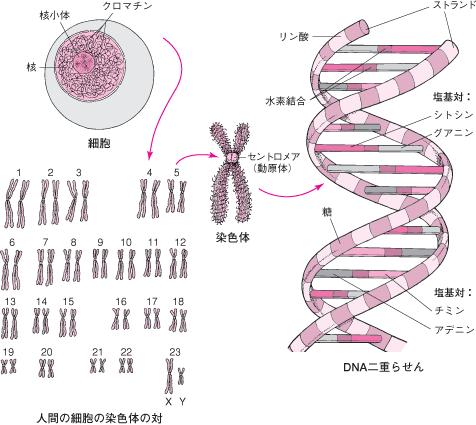 XY染色体1