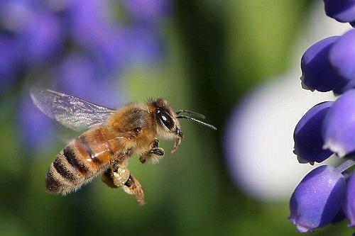 s-ミツバチ
